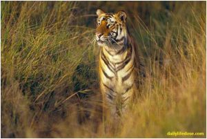 Tiger National Parks Central India - Dailylifedose